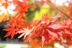 Maple Autumn Red The Leaves