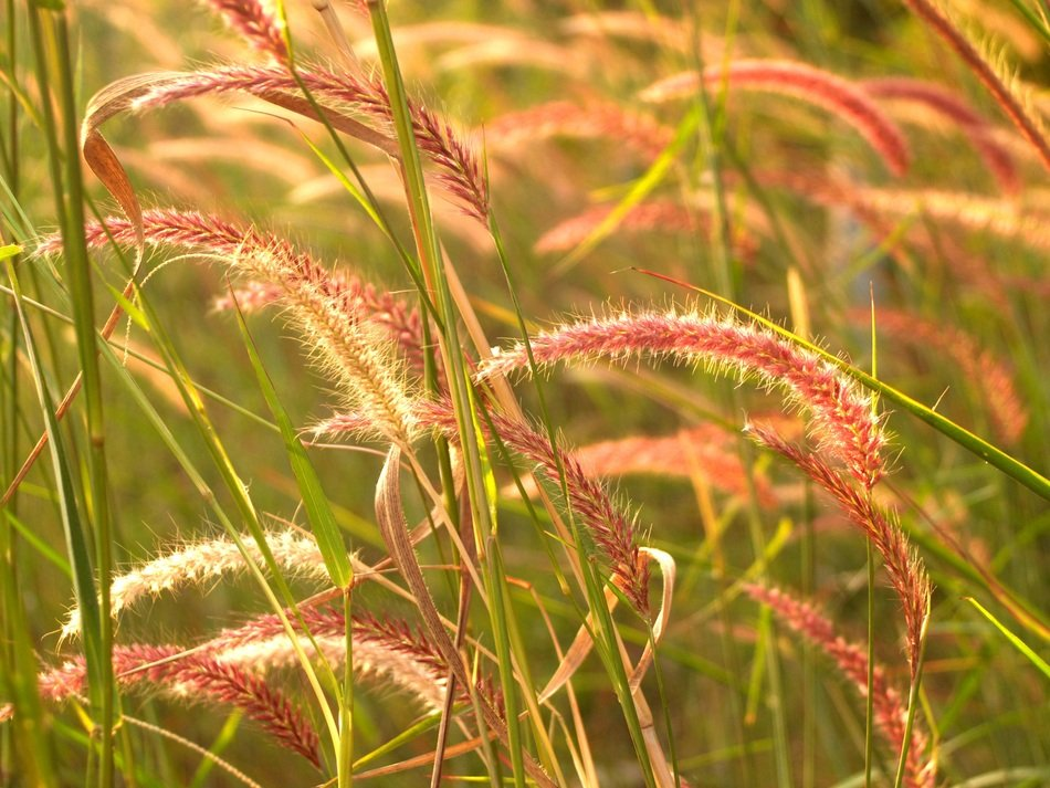 grass bloom for background image
