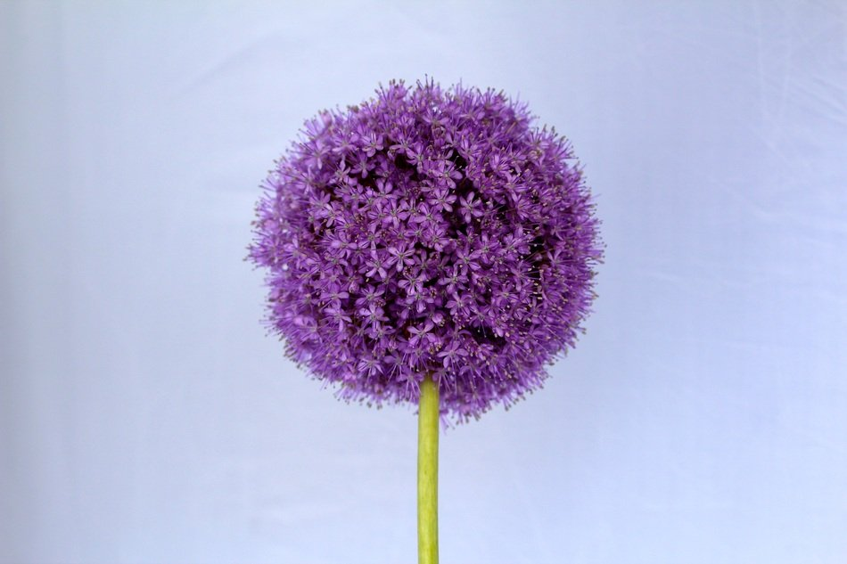 purple garden ornamental onion