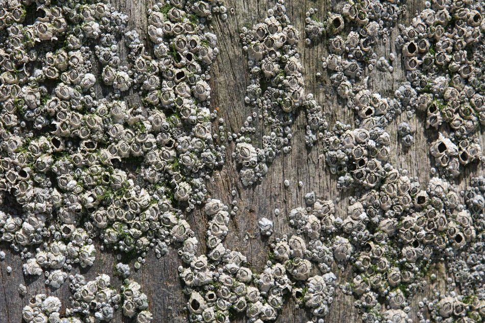 Aquatic Background Barnacles