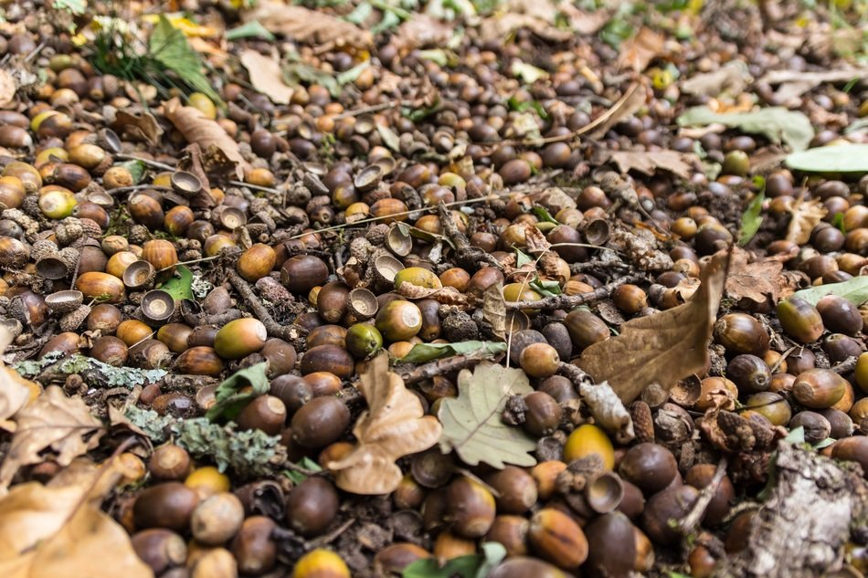Forest Floor Acorns Forest Fruits