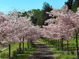 flowering cherry trees alley