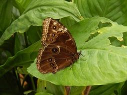 Butterfly Owl Brown Nature