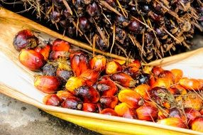 ripe palm tree fruits