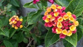 pink and yellow flowers lantana camara mutabilis