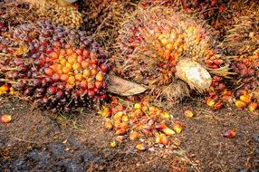 ripe palm tree fruit on the ground