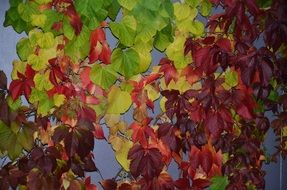 fall leaves of clambering plant