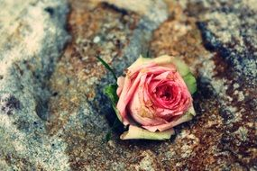 withered rose flower in the stone