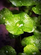 green smooth leaves with water drops