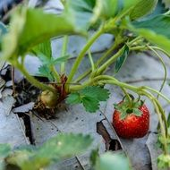 strawberry on the garden bed