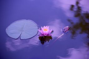 purple water lily and green leaf in a pond