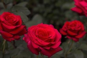 Red romantic rose flowers