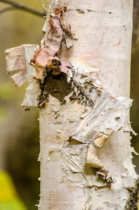 peeling birch tree bark