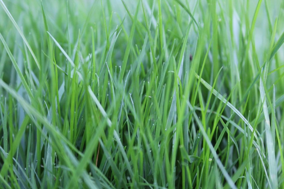 Grass Rush Green Nature