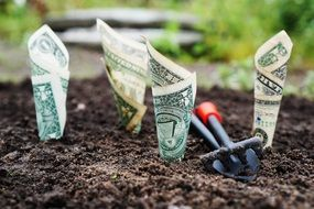 dollars are planted in the garden