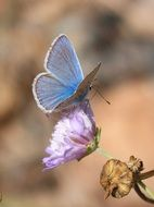 blue polyommatus icarus on the wild flower