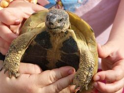 Mediterranean tortoise in the child's hand