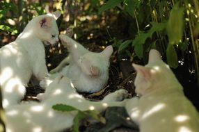 white kittens play in nature