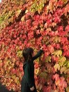 little girl studies the colorful leaves of japanese maple