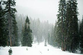 Snowing Trees