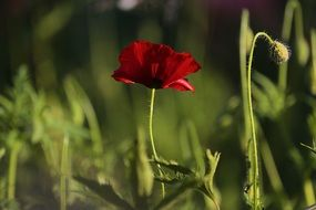 burgundy poppy among green grass