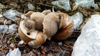 Mating Snails in Wild