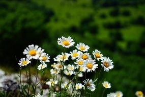 meadow white daisies