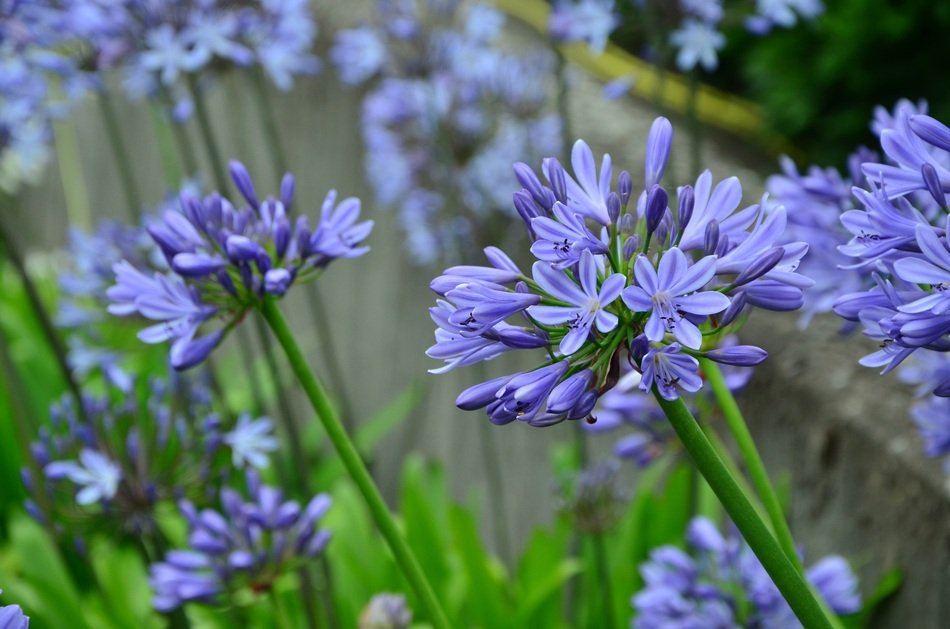 purple agapanthus