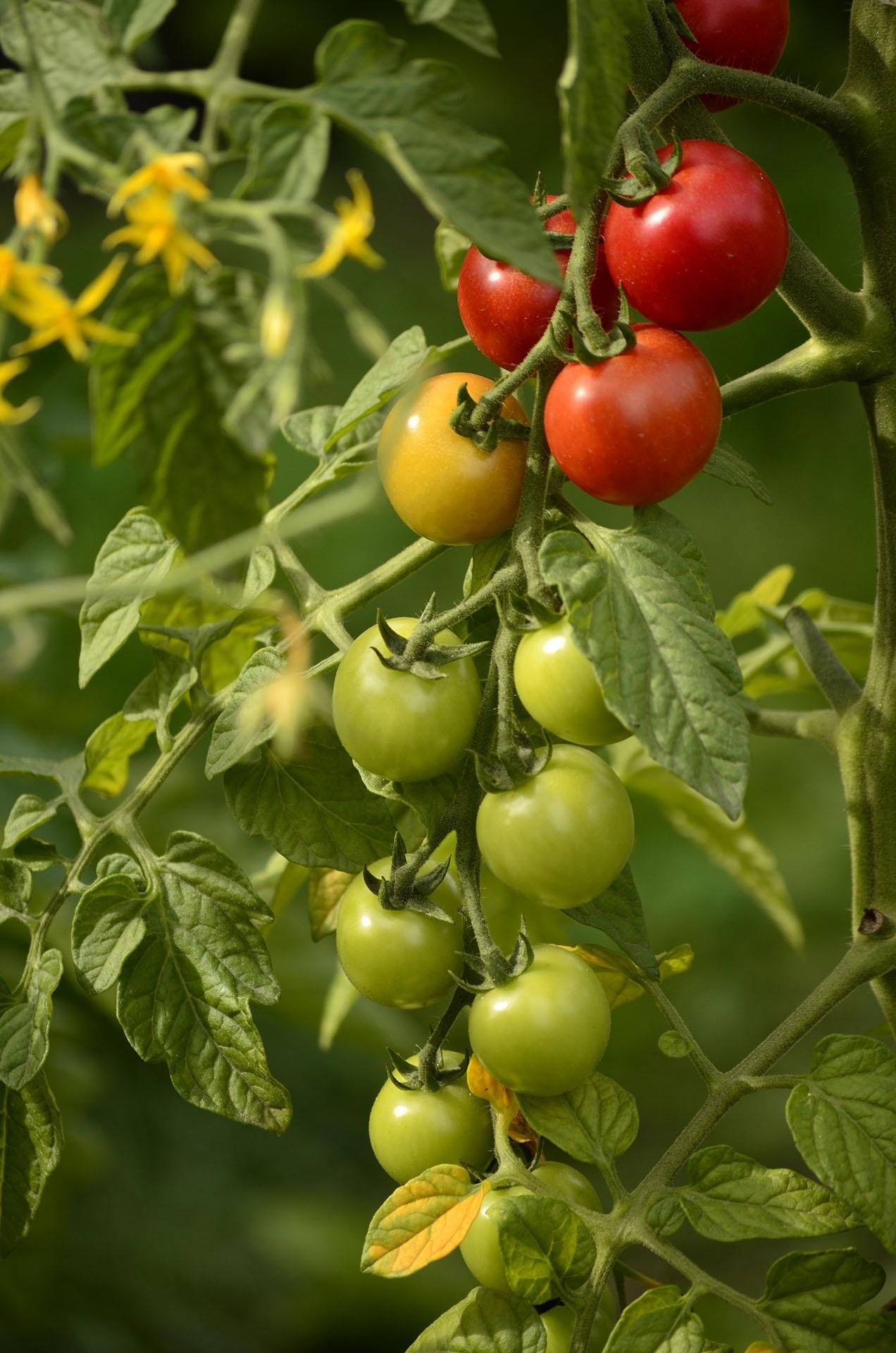как формируют томаты марьина роща фото ему