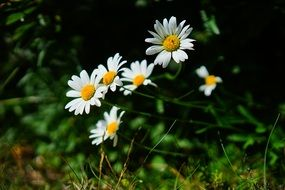 Meadows Margerite Daisies
