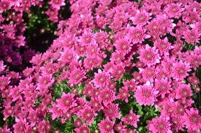 bush of pink spring flowers