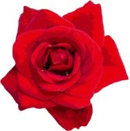 Picture of beautiful red rose