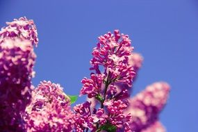 lilac flowers on a blue sky background