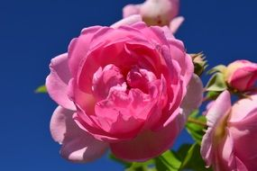 bush of pink roses against a bright blue sky
