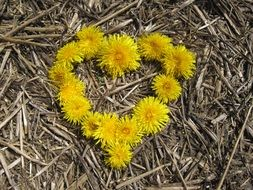 the heart of their dandelion flowers