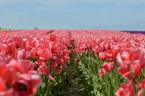 field of pink Tulips at sunny day
