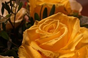 wallpaper with romantic yellow rose