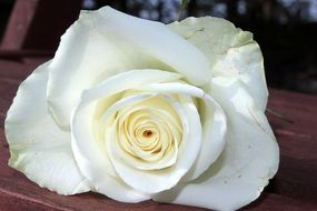 Rose White Rose Flower Blossom