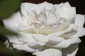 magnificent White Rose