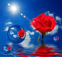 red roses in water bubbles