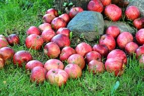 red Apples Fruit in the Grass garden