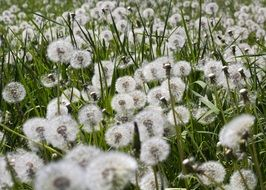 lot of white puffy Dandelions on meadow