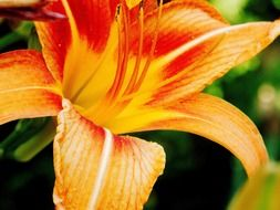 orange lily close uporange tropical lily close up