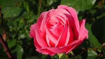 pink Rose bloom Flower garden