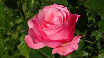 Roses bloom pink garden Love