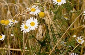 white daisies on a wheat field