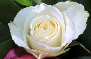 filigreed delicate white rose