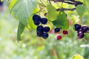 black currant fruit on a green bush