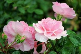 Raindrops on the pink rose flowers