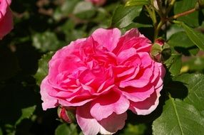 filigree pink garden rose